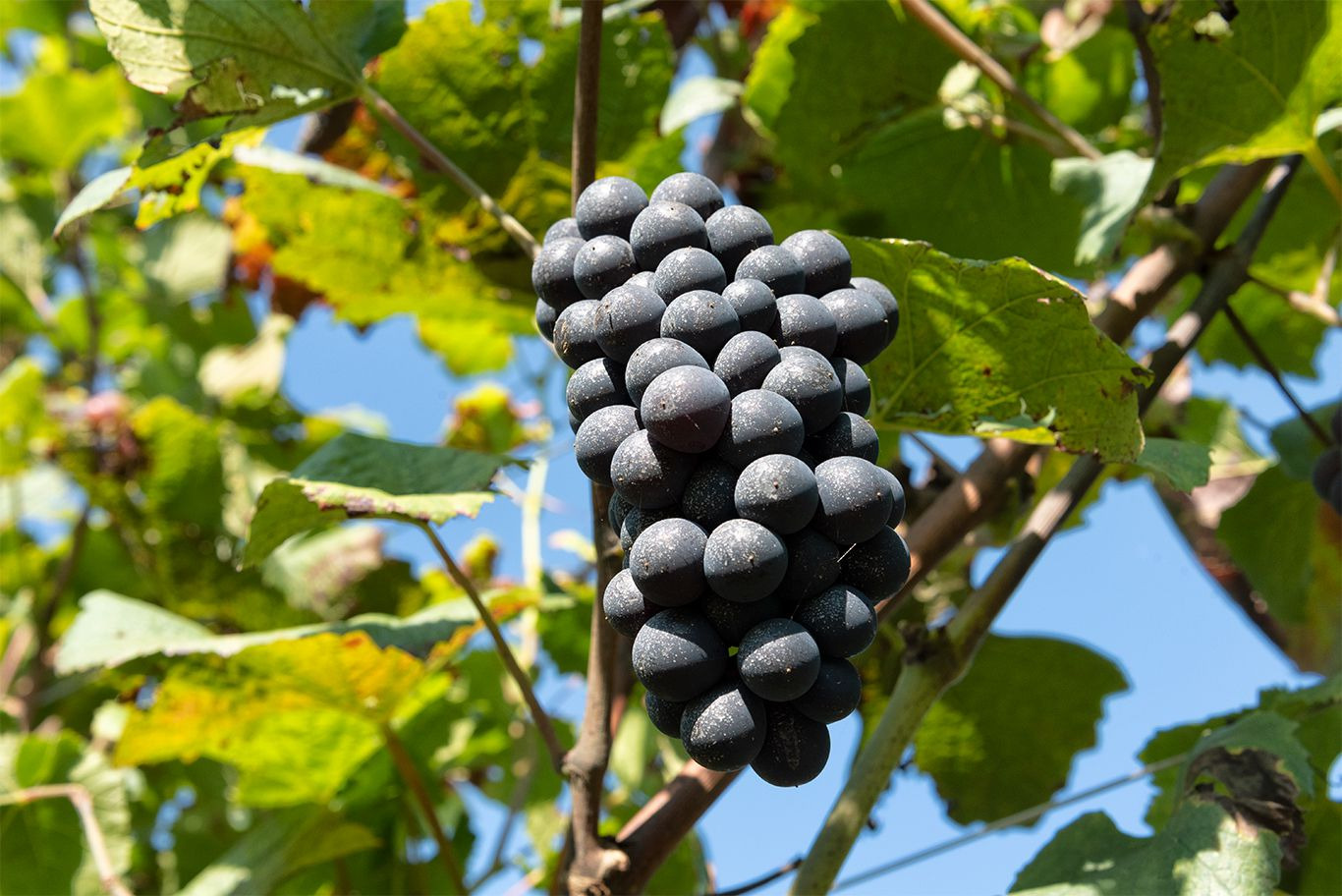 Il Pinot Nero delle Dolomiti Dialogo con Alex Della Vecchia